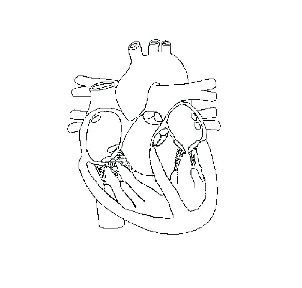 Circulatory System Drawing At Getdrawings
