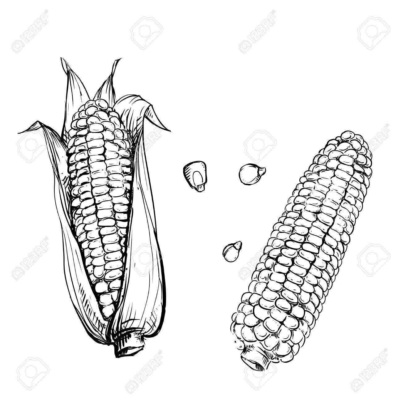 Corn Cob Drawing At Getdrawings