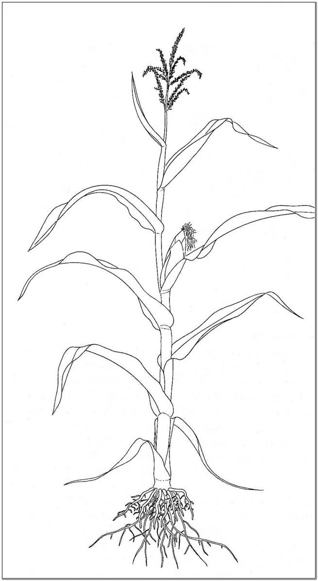 diagram rosary pea