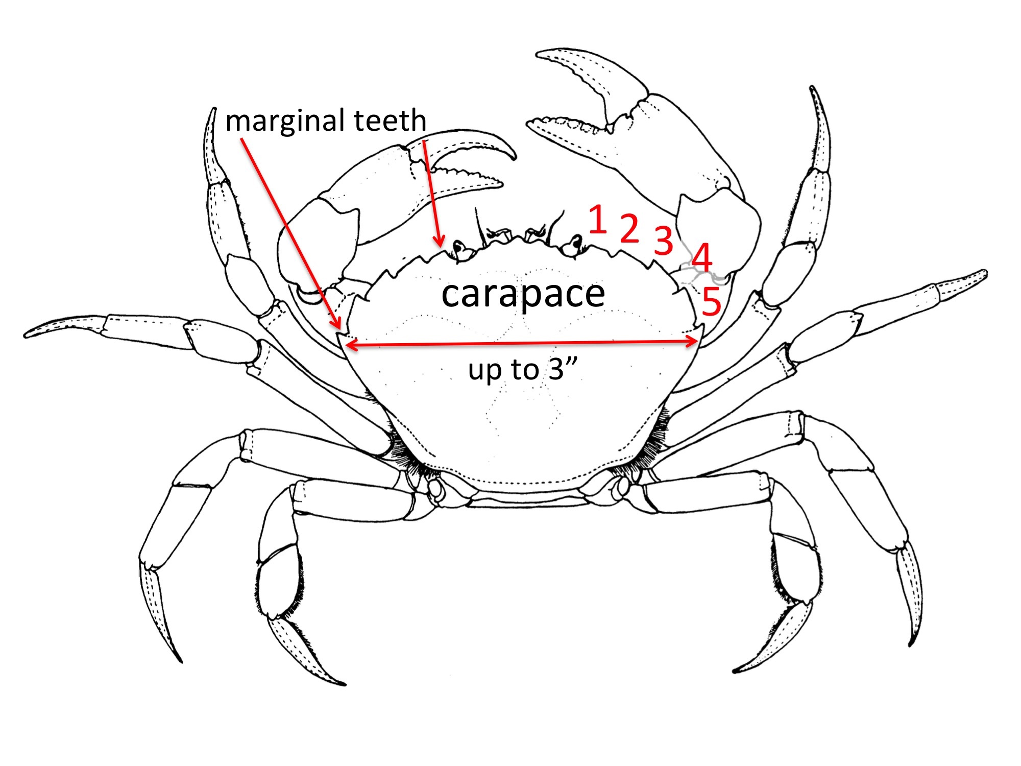 Crab Outline Drawing At Getdrawings