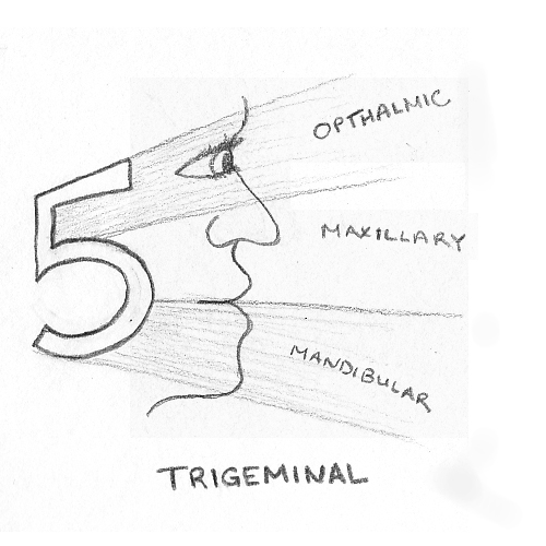 The best free Cranial drawing images. Download from 98
