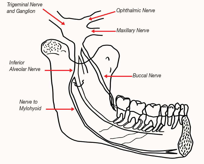 trigeminal nerve diagram 1996 chevy s10 wiring cranial nerves drawing at getdrawings com free for personal use 868x698 mandibular anomalies that lead to local anesthesia failures