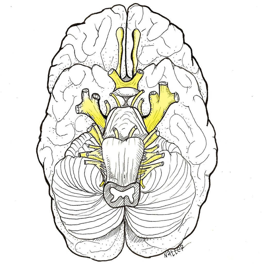 Cranial Nerves Drawing At Getdrawings