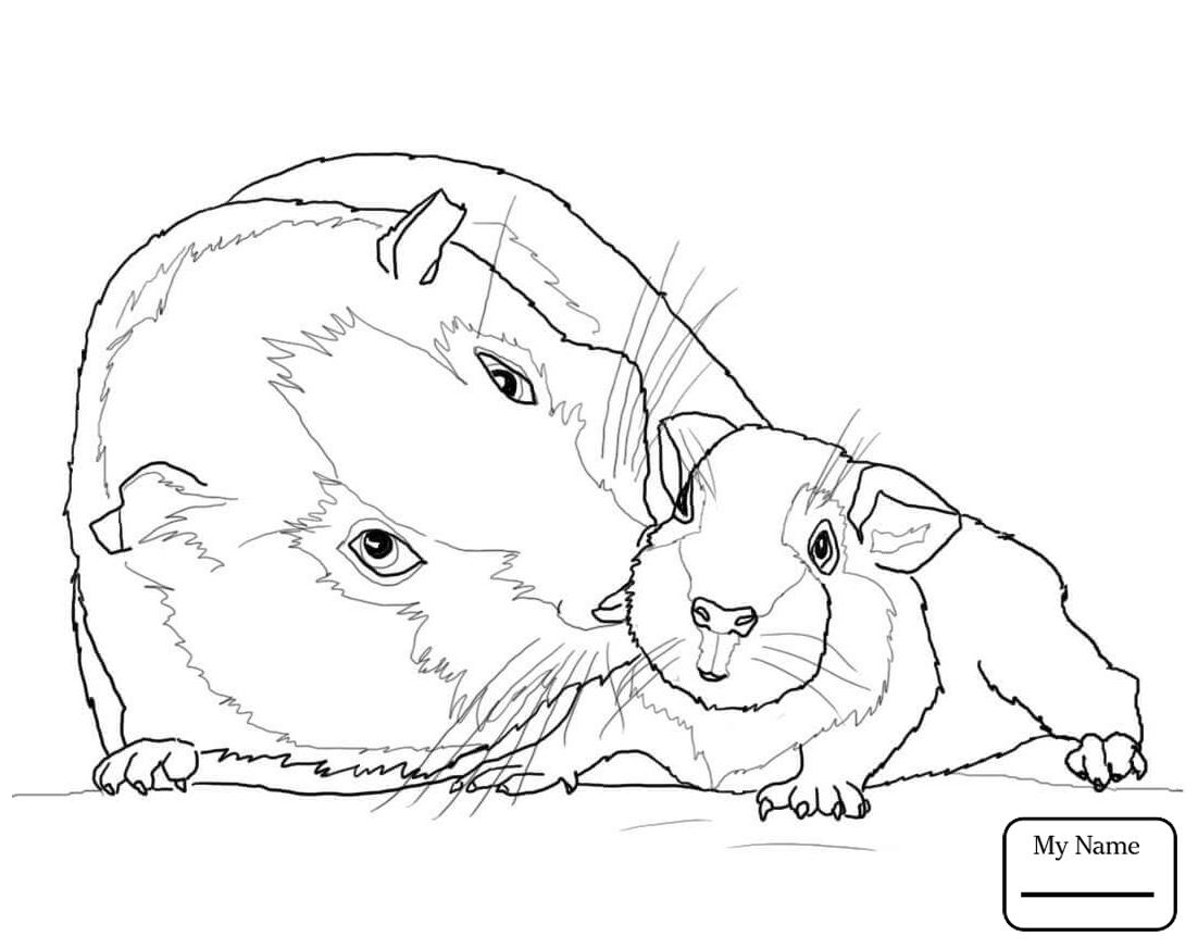 Cute Guinea Pig Drawing at GetDrawings Free download