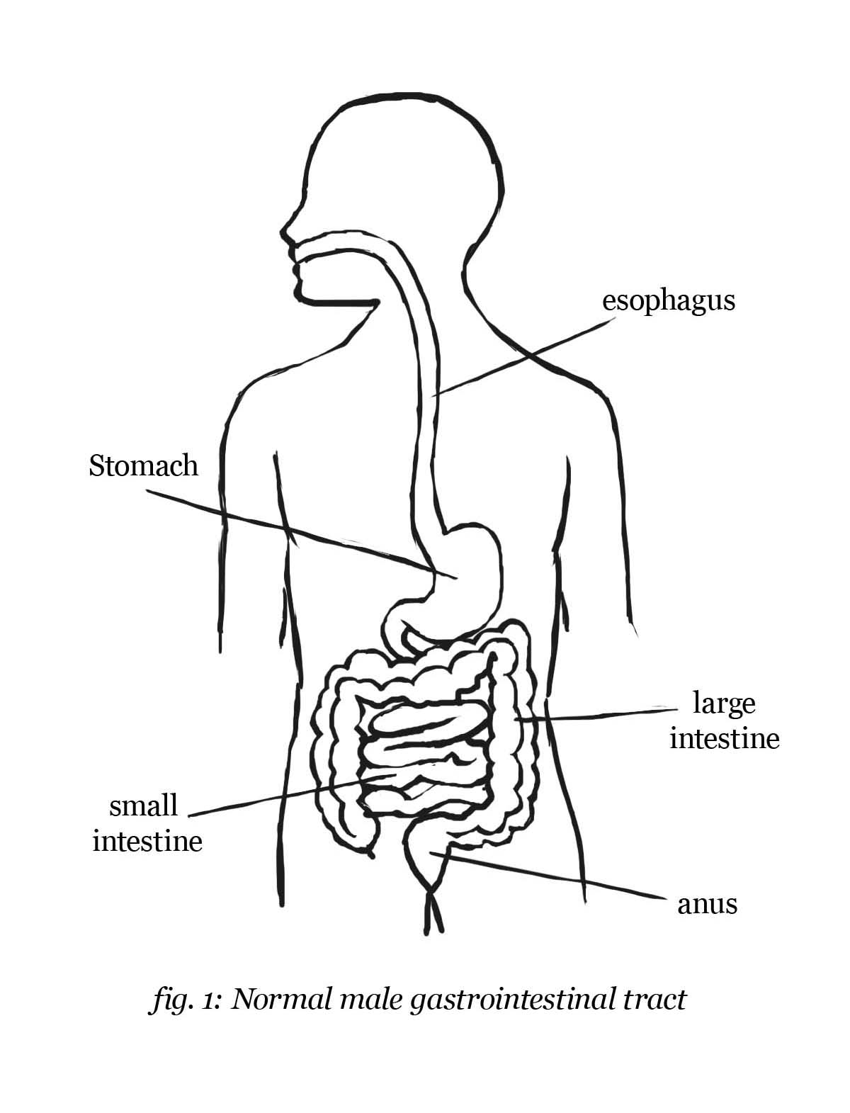 horse gi diagram water pressure switch wiring digestive system drawing at getdrawings free for