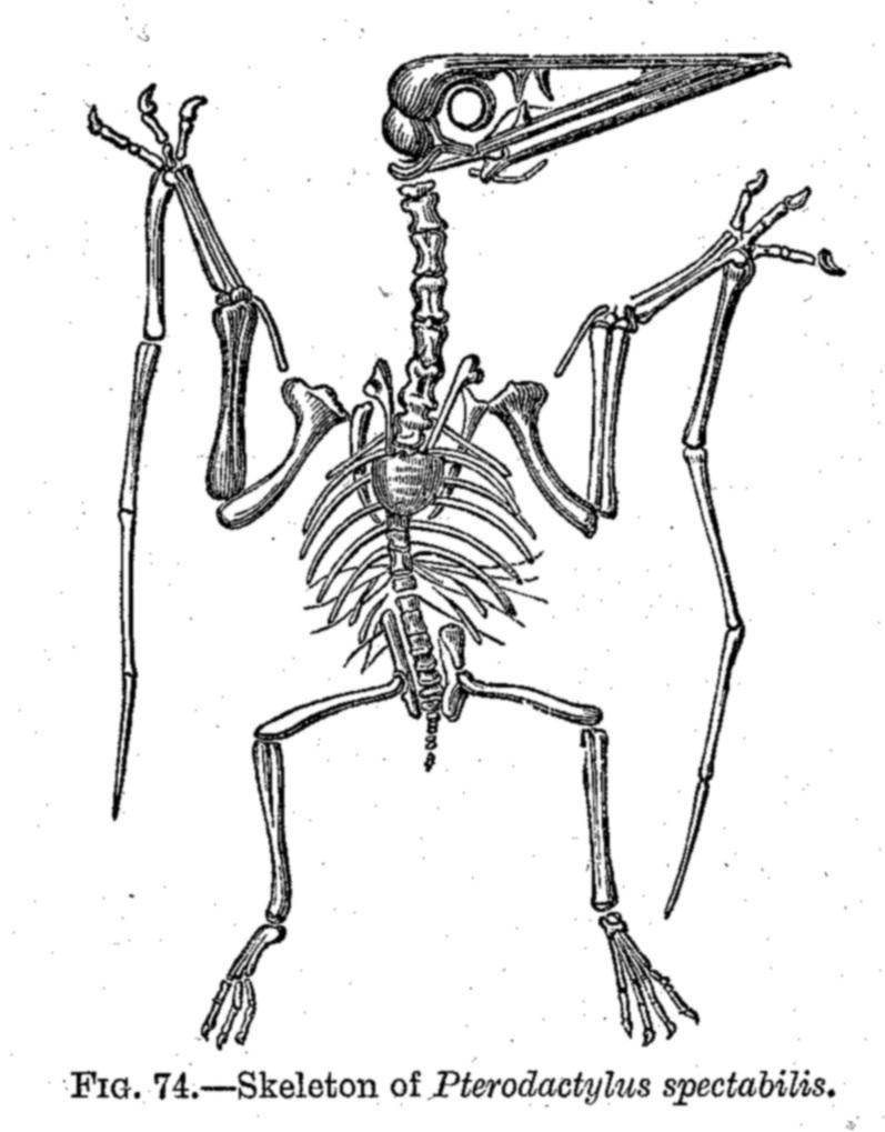 medium resolution of 797x1019 dinosaur skeletal reconstruction prehistoric animal bones