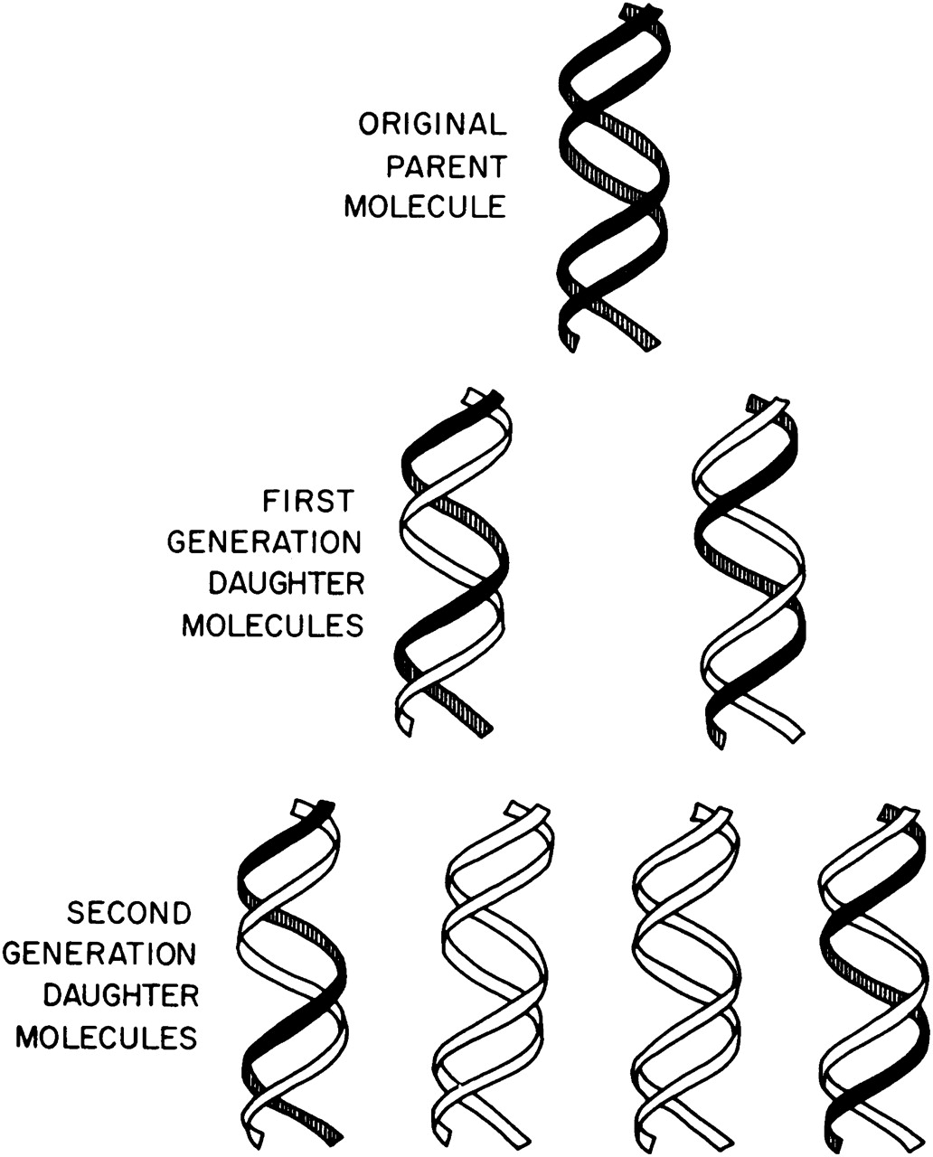 simple diagram of dna replication 2005 dodge durango radio wiring double helix drawing at getdrawings free for