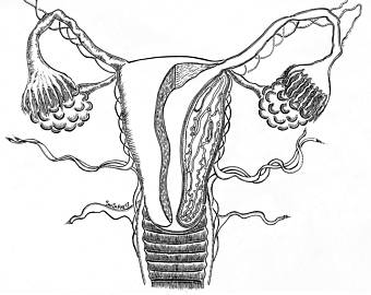 Female Reproductive System Drawing at GetDrawings.com