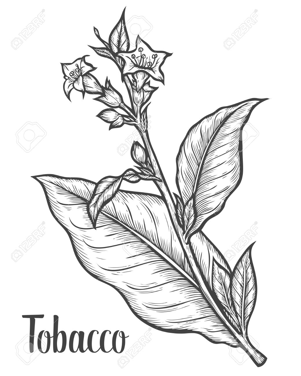 Goldenrod Flower Drawing At Getdrawings