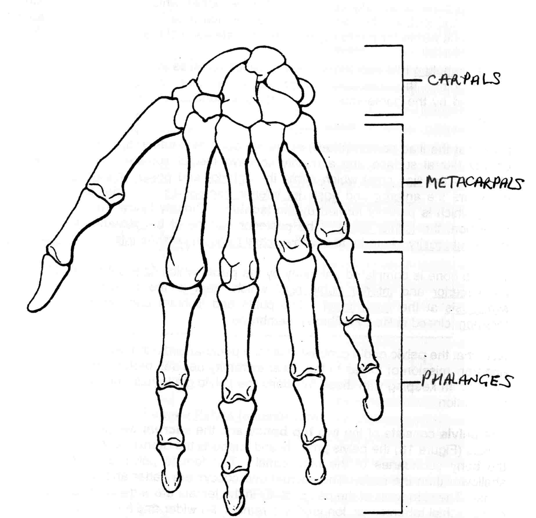 Hand Bone Drawing At Getdrawings