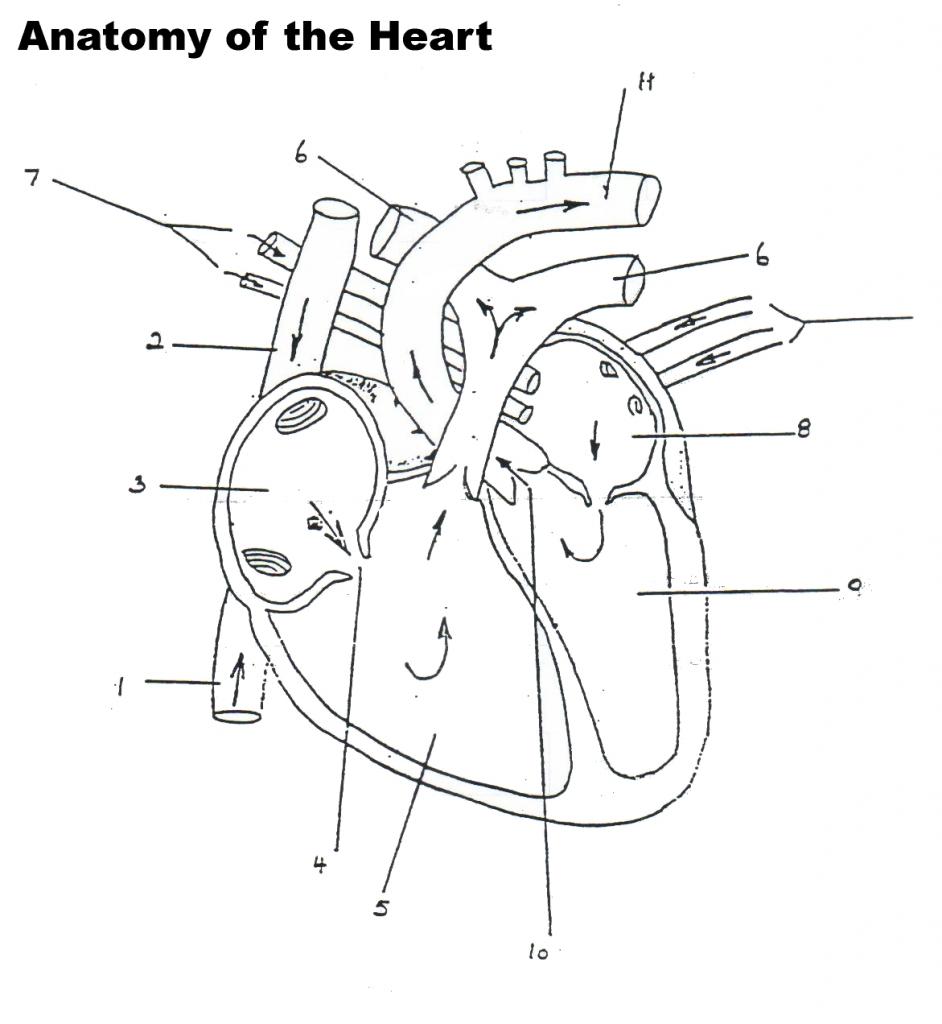 medium resolution of 942x1024 human heart blood flow diagram human heart diagram blood flow