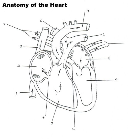 small resolution of 942x1024 human heart blood flow diagram human heart diagram blood flow