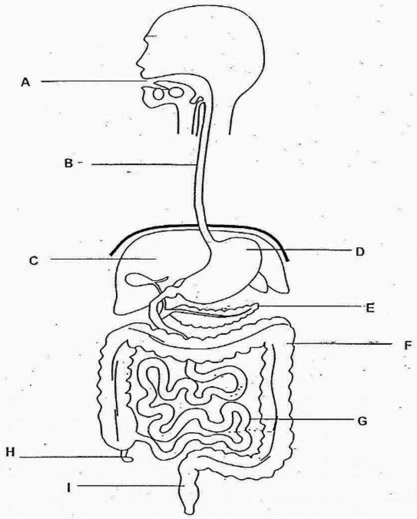 Blank Human Body Digestive System Pictures to Pin on
