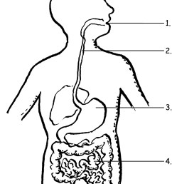 1123x1500 human digestive system drawing and labelling digestive system [ 1123 x 1500 Pixel ]