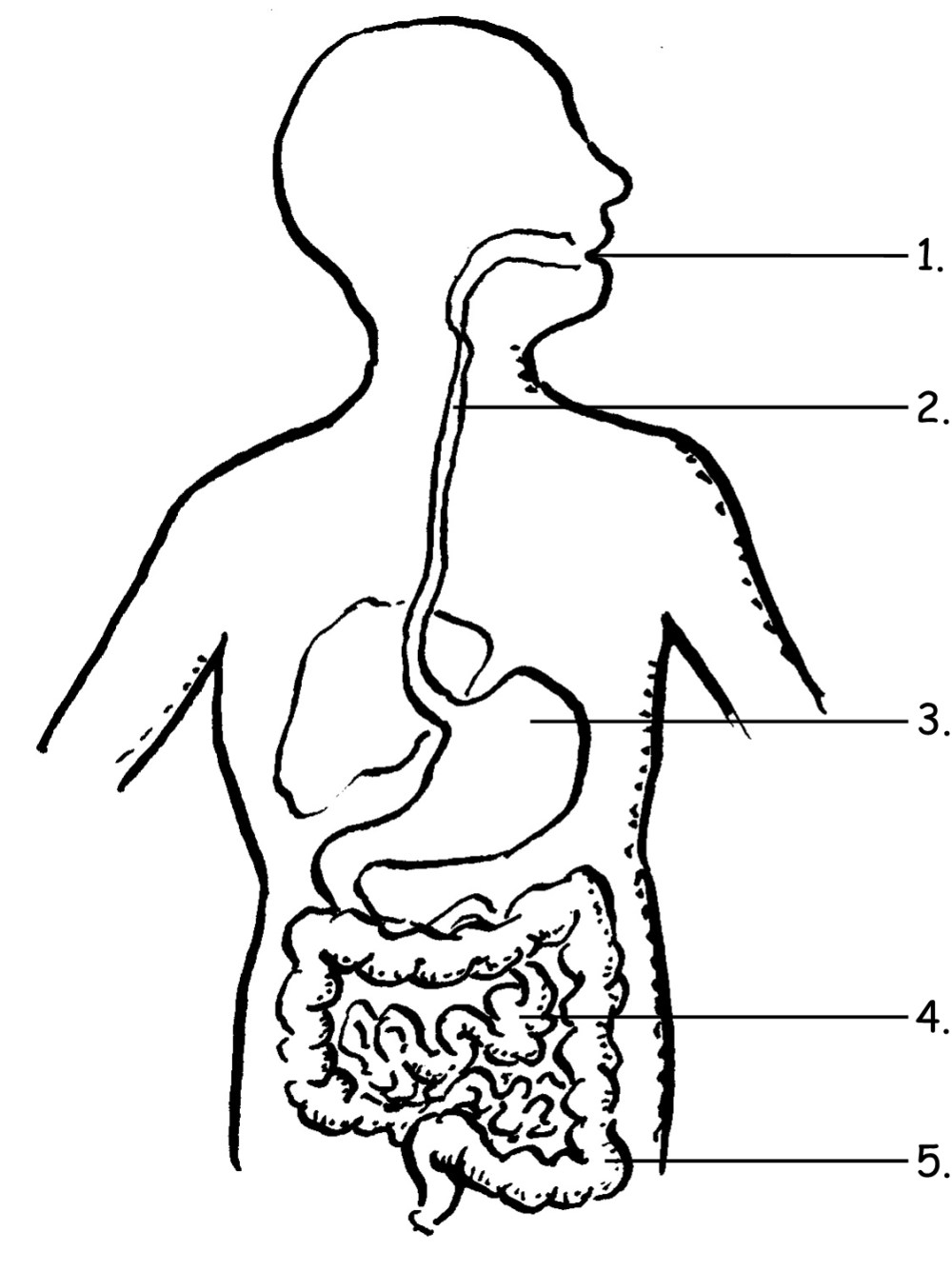 medium resolution of 1123x1500 human digestive system drawing and labelling digestive system