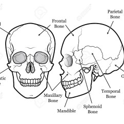 Facial Bones Diagram Not Labeled Toro Z Master Belt Human Head Anatomy Drawing At Getdrawings Free For