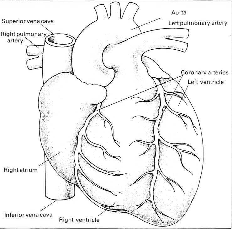 Black And White Liver Diagram