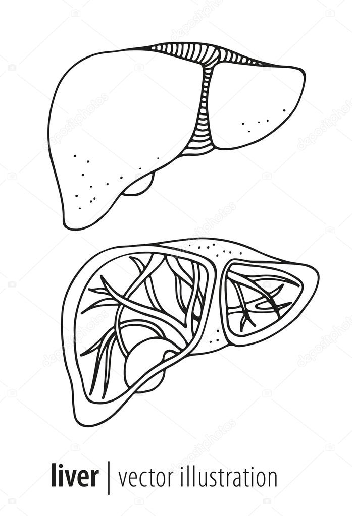 The best free Liver drawing images. Download from 152 free