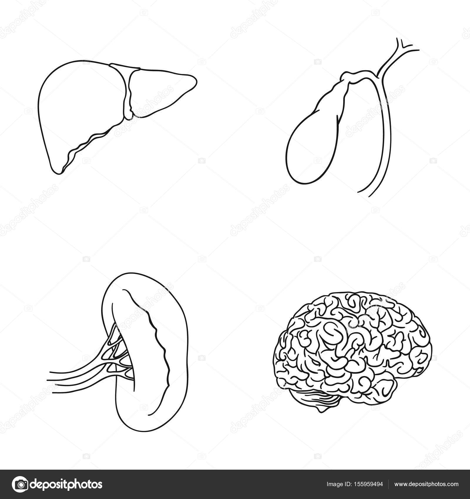 Human Liver Drawing At Getdrawings