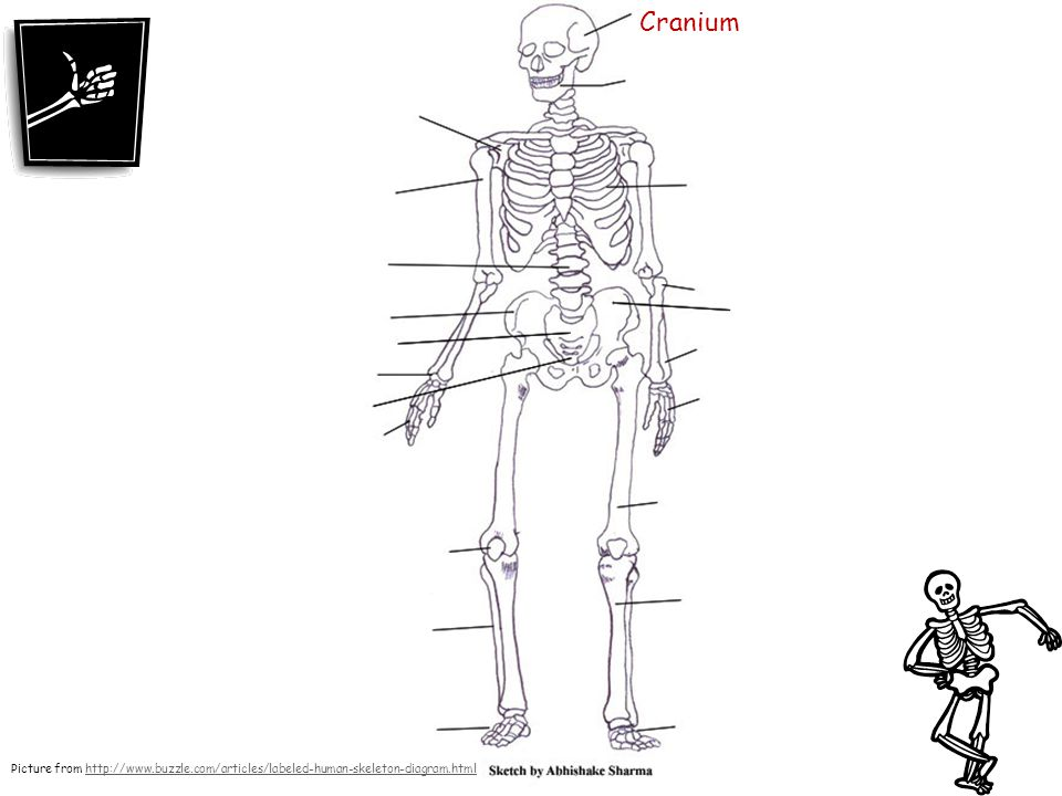 skeleton diagram labeled 1997 toyota land cruiser electrical wiring human skeletal system drawing at getdrawings com free for personal 960x720