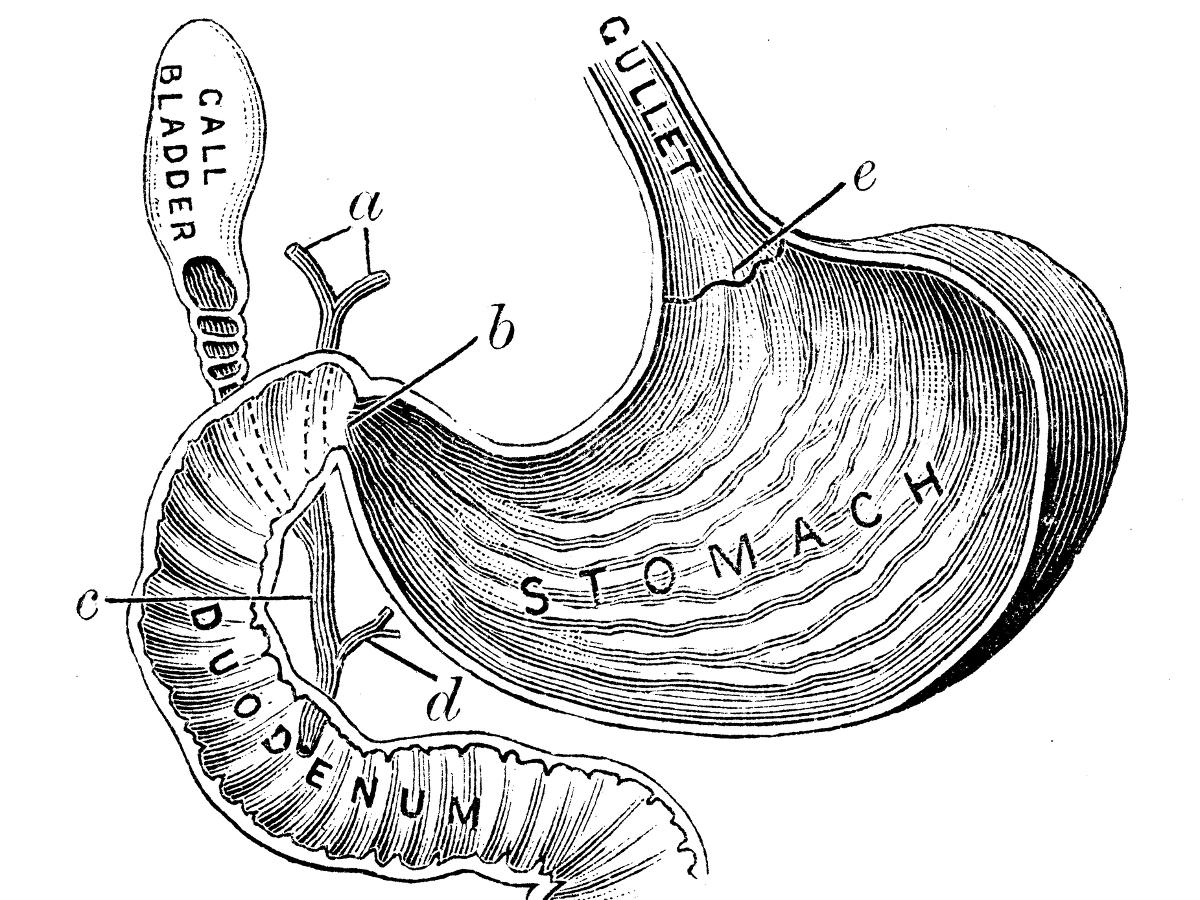 Human Stomach Drawing At Getdrawings