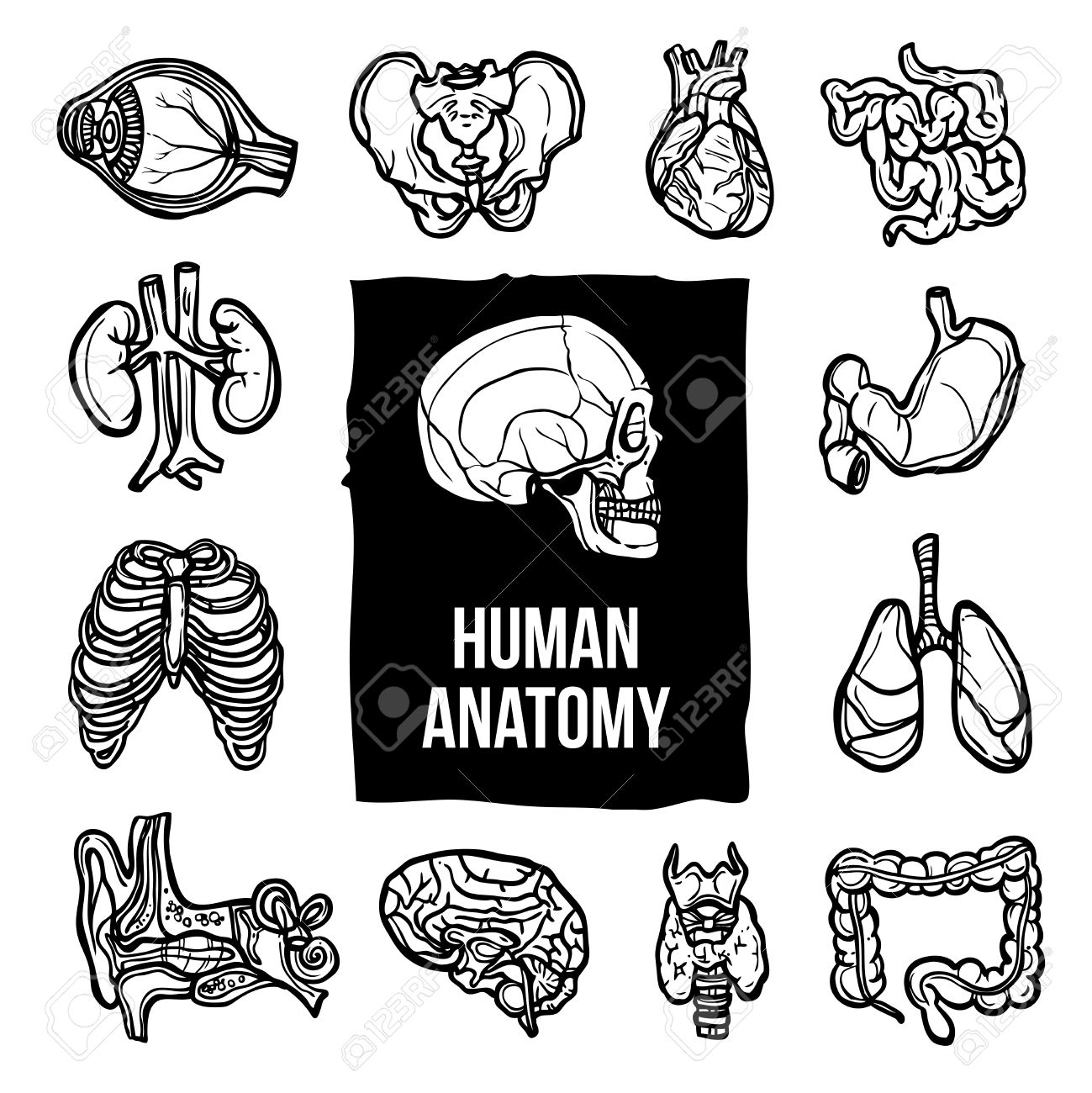 Humbody Organs Drawing At Getdrawings