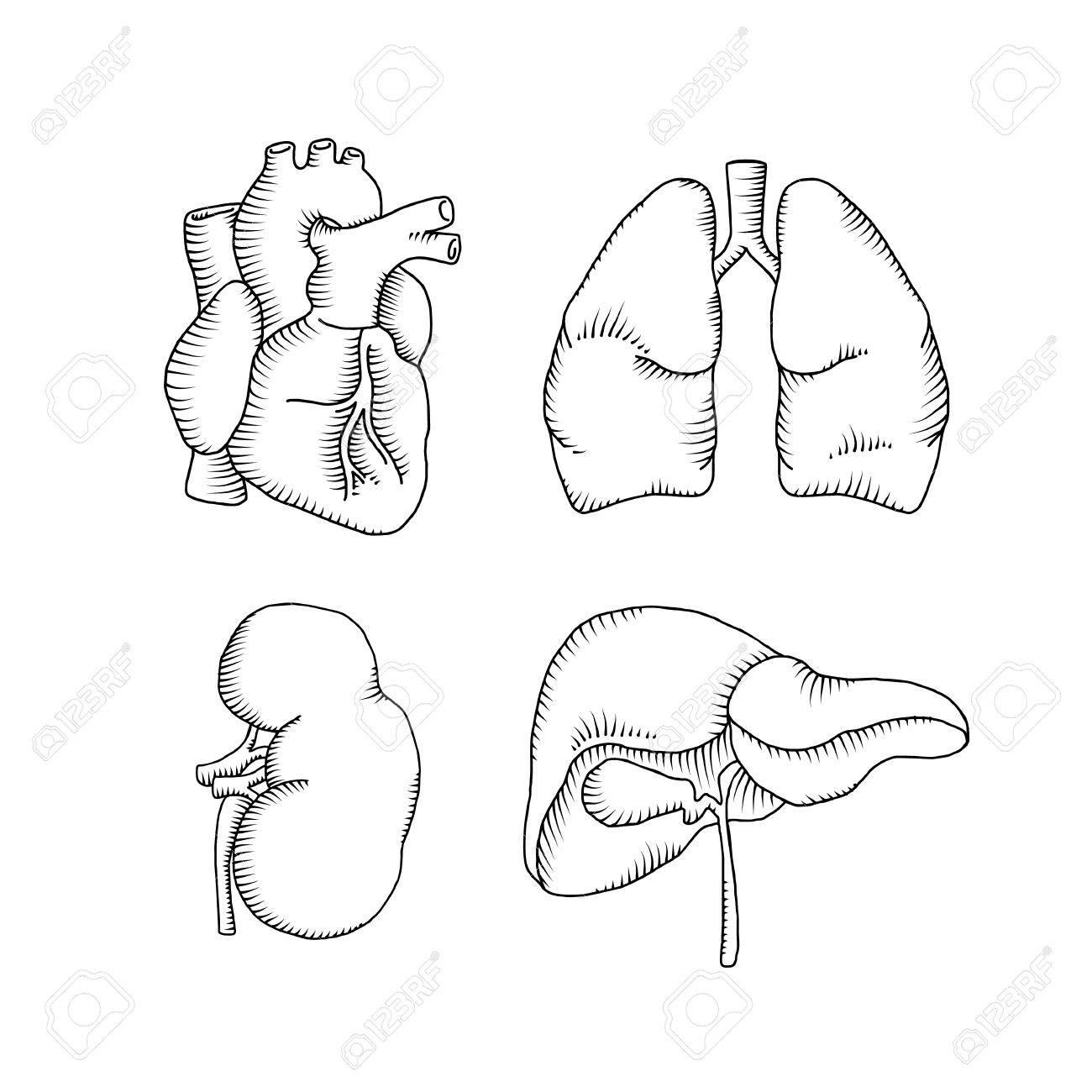 Kidneys Drawing At Getdrawings