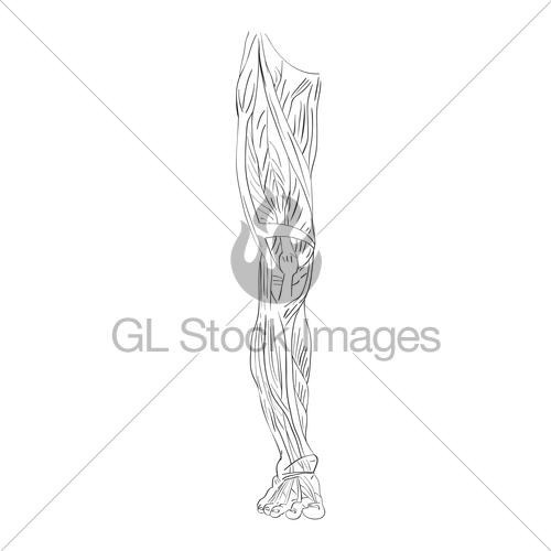 leg muscle drawing at