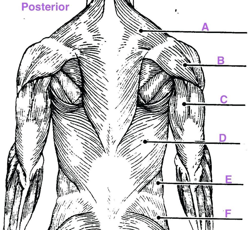 medium resolution of 1082x1004 diagram upper arm muscle diagram human leg muscles common names