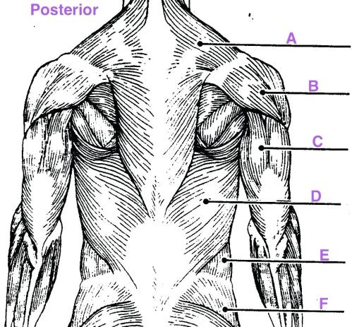 small resolution of 1082x1004 diagram upper arm muscle diagram human leg muscles common names