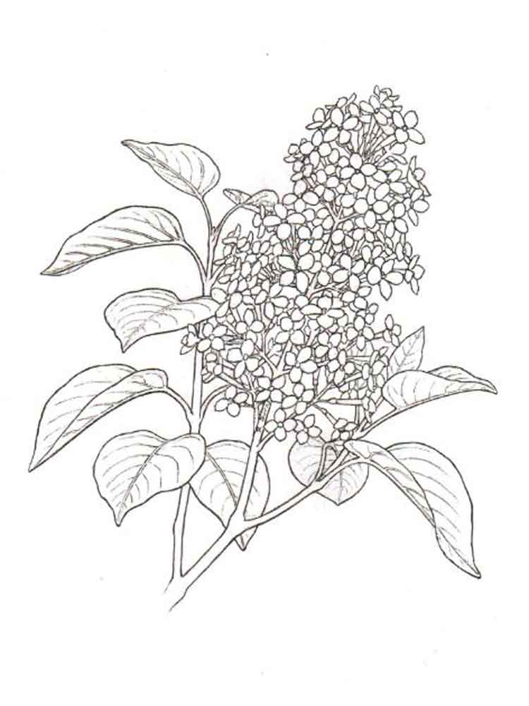 Lilac Flower Plant Coloring Page