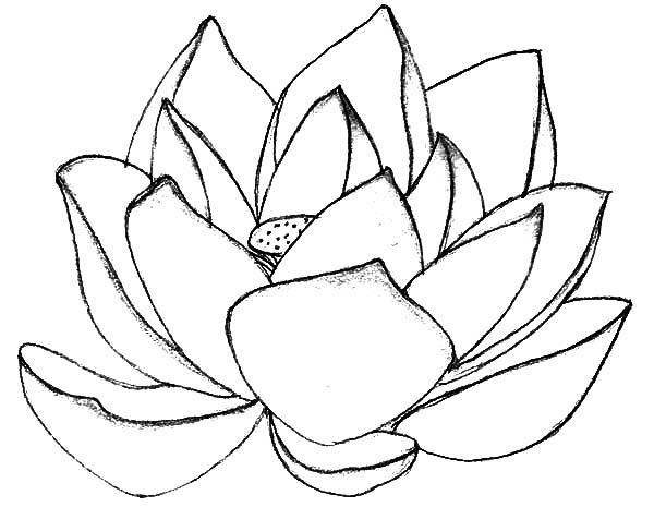 Simple Lotus Flower Drawing At Getdrawings Com Auto Electrical