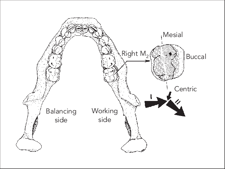 Molar Drawing At Getdrawings Com