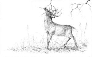 pencil deer drawing wildlife wild getdrawings ritch miller watercolor