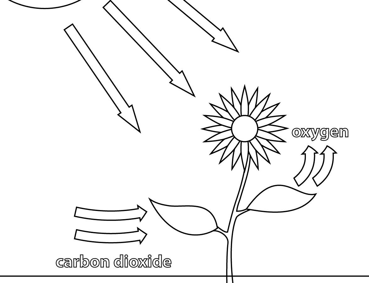 Photosynthesis Drawing At Getdrawings