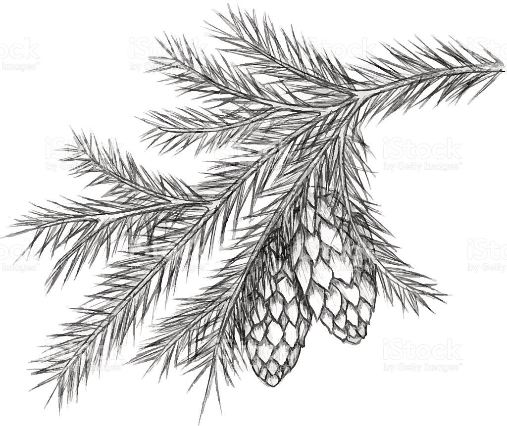 Pine Cones Drawing At Getdrawings
