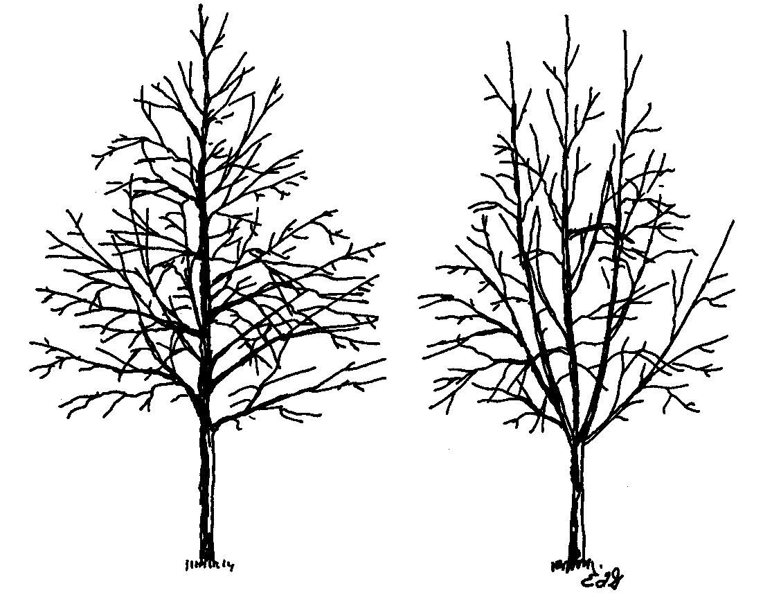 Pine Drawing At Getdrawings