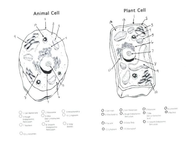 animal cell coloring page # 52