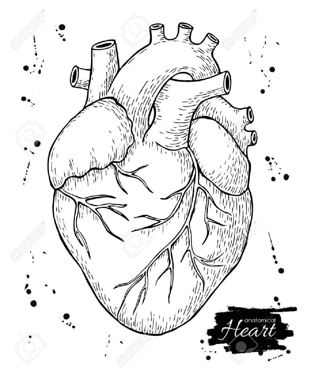 Real Heart Drawing At Getdrawings