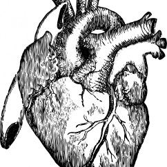 Realistic Heart Diagram Freightliner M2 Wiring Real Human Drawing At Getdrawings Com Free For Personal Use 1405x1920 Organs Clipart