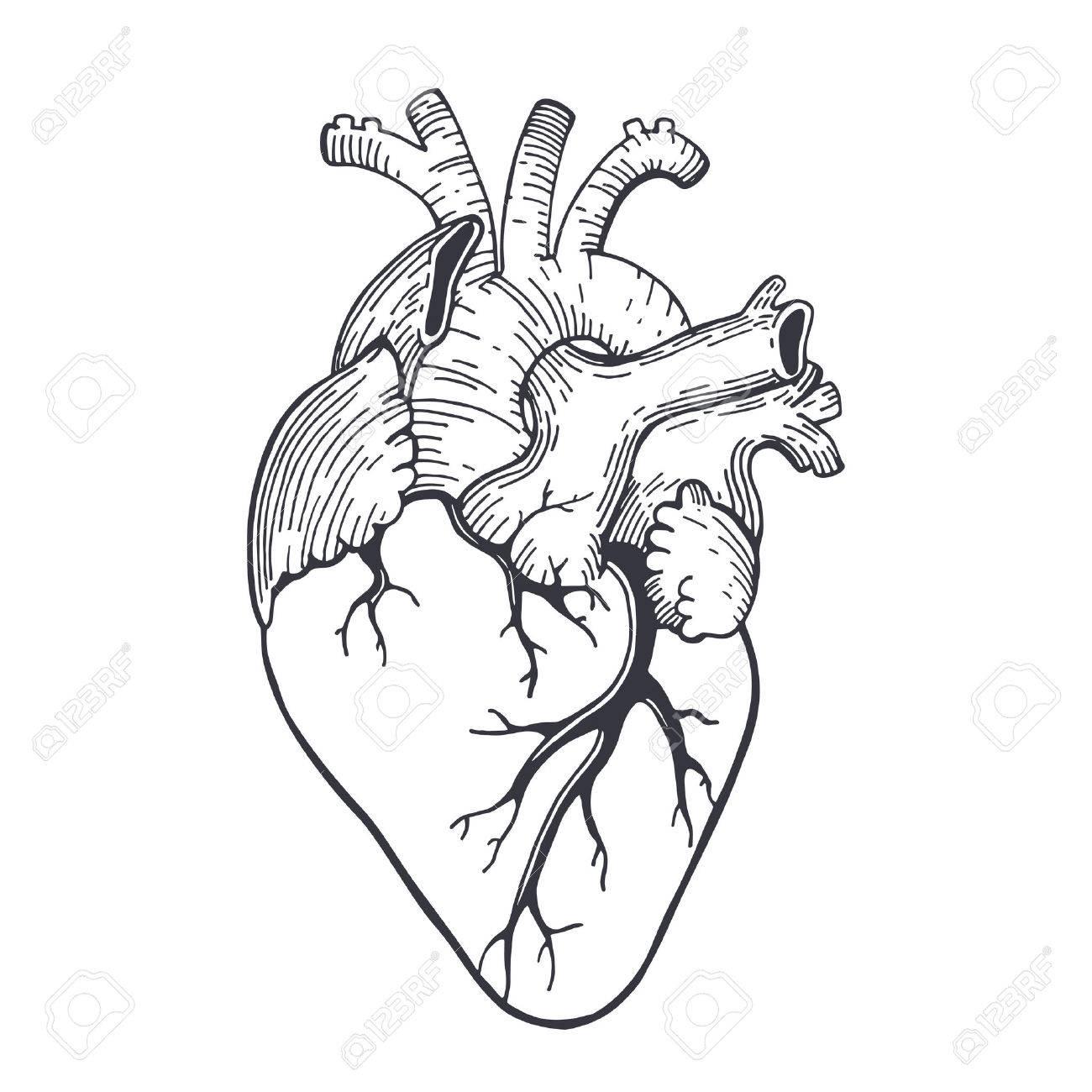 Realistic Human Heart Drawing At Getdrawings