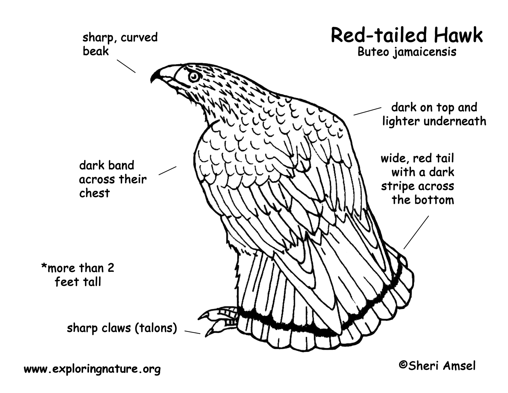 Red Tail Hawk Drawing At Getdrawings