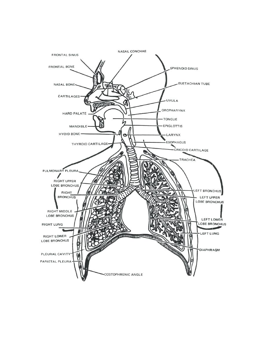 Respiratory System With Label Drawing at GetDrawings.com