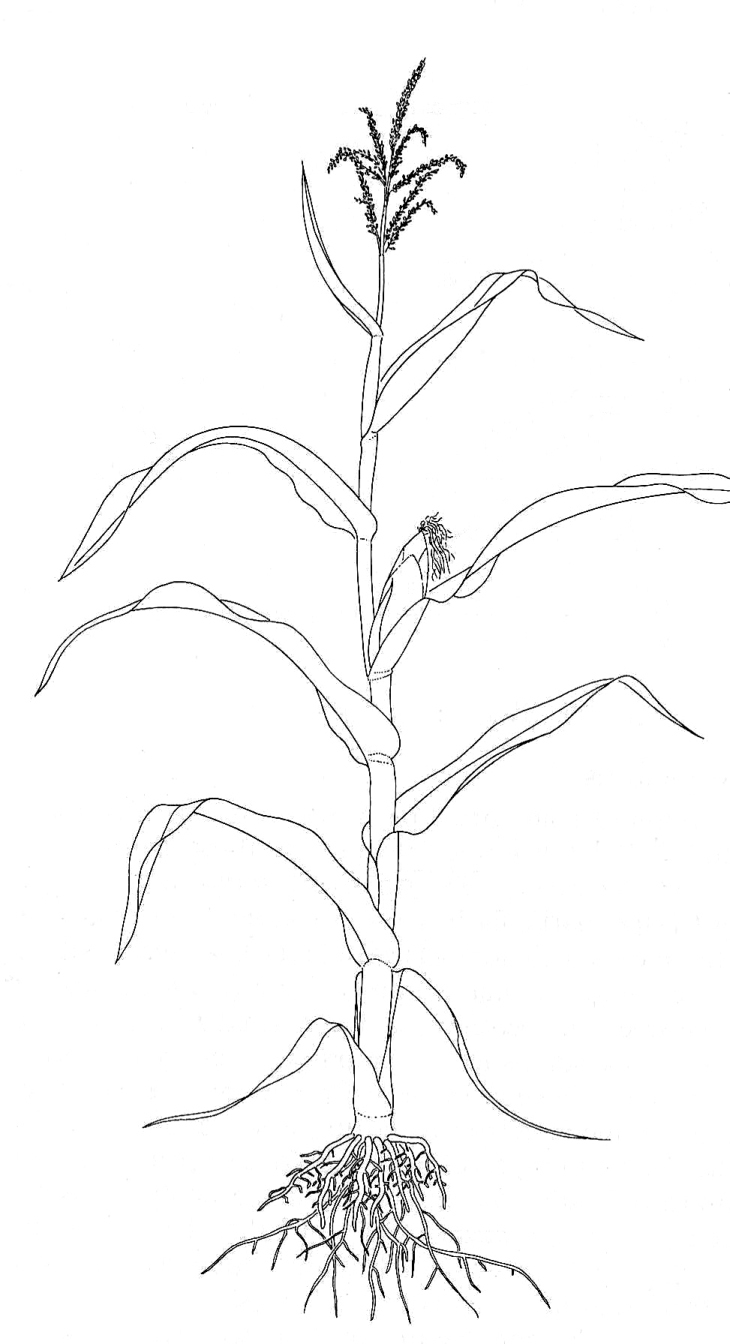 sketch diagram of rice plant