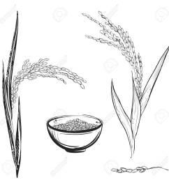 1300x1300 hand drawn monochrome vector illustration of rice plant grain [ 1300 x 1300 Pixel ]