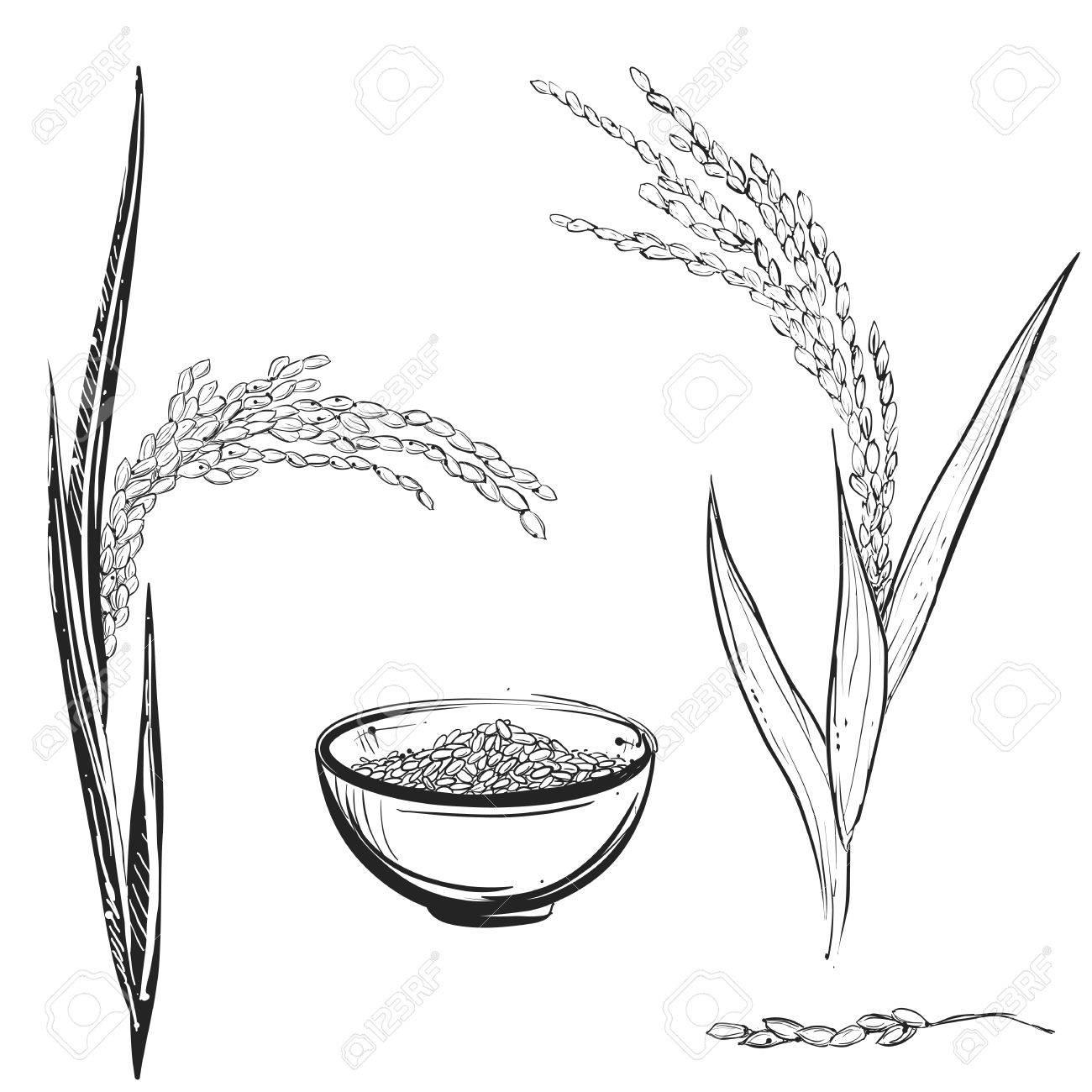 hight resolution of 1300x1300 hand drawn monochrome vector illustration of rice plant grain