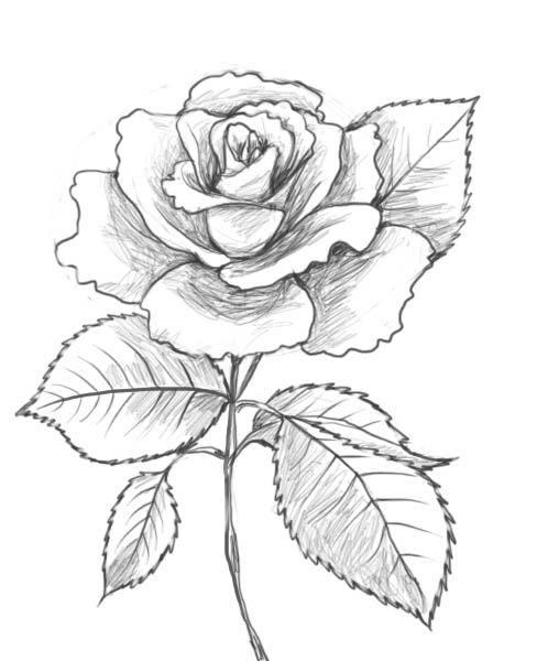 Rose Leaf Drawing : drawing, Drawing, GetDrawings, Download