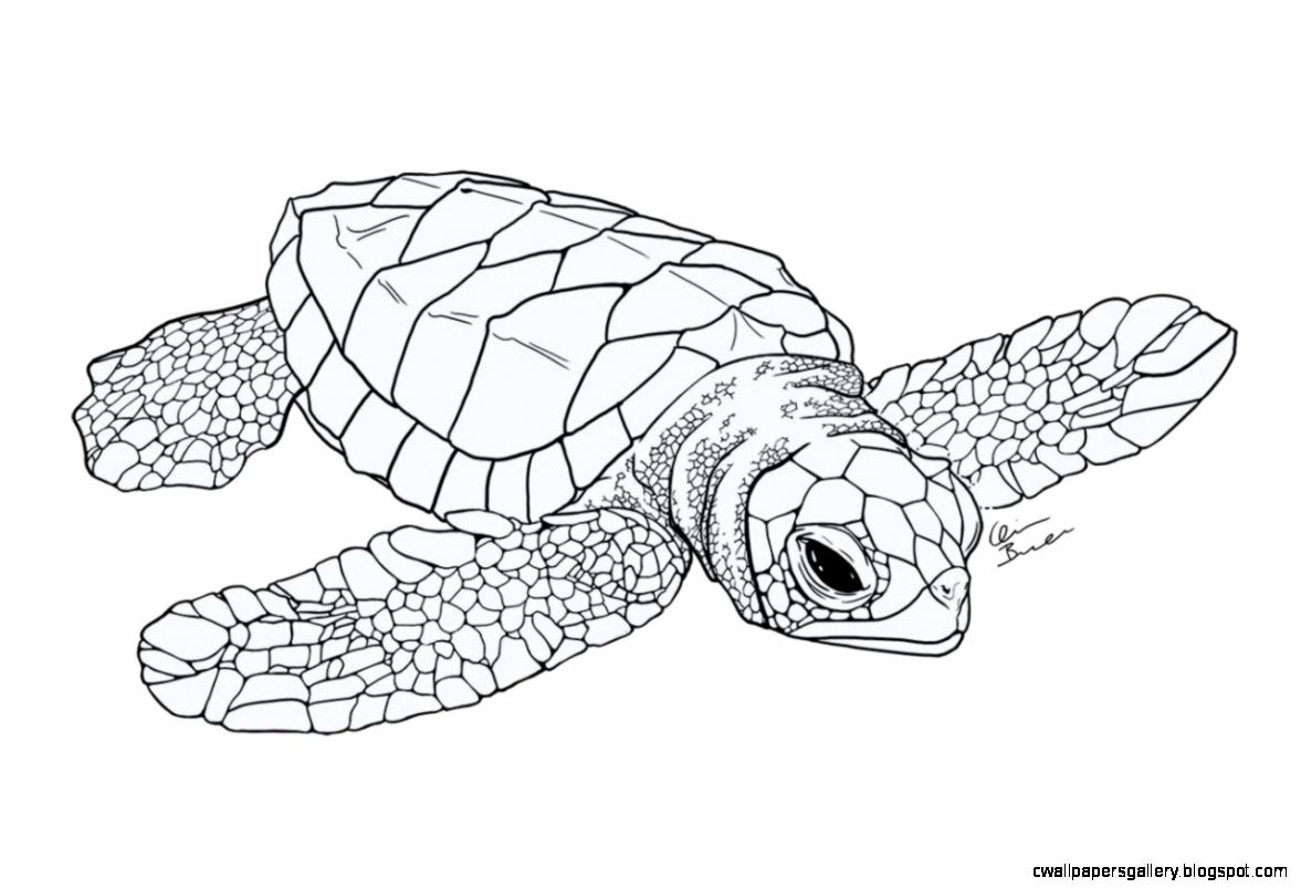 Leatherback Sea Turtle Drawing At Getdrawings
