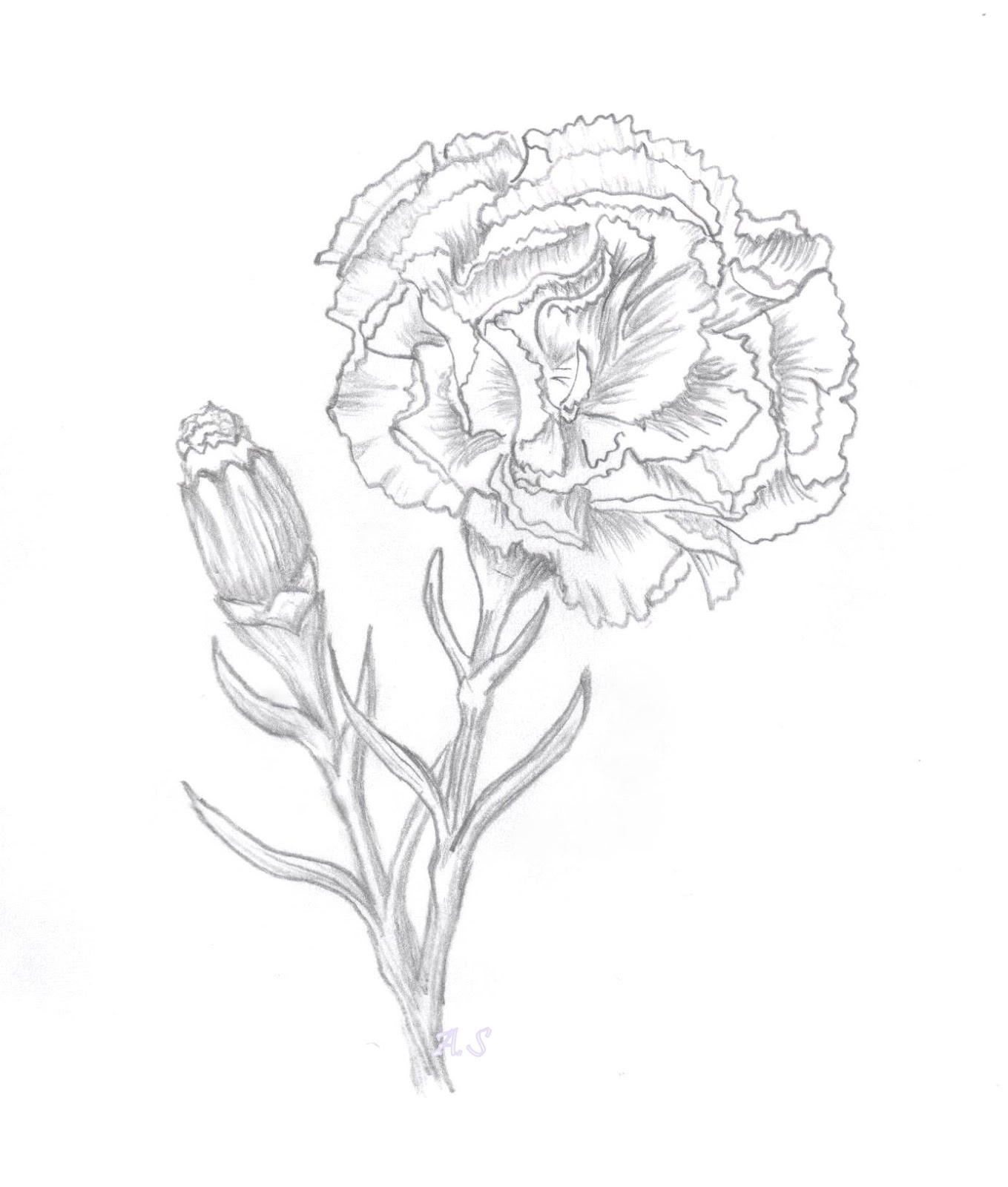 Simple Carnation Drawing At Getdrawings