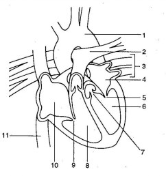 1024x988 diagram of heart without labels human heart diagram without [ 1024 x 988 Pixel ]